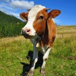 The calf on a summer mountain pasture - ストック写真