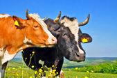 Vacas em uma pastagem de verão — Foto Stock