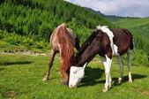 Horses on a summer mountain pasture — Stock Photo