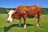 Koe op een zomer weiland. — Stockfoto