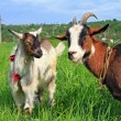 Foto Stock: Goats on summer pasture