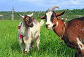 Cabras em uma pastagem de verão — Foto Stock