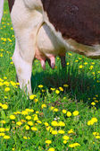 Udder of a young cow — Stock Photo