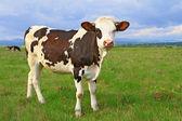 Il vitello su un pascolo estivo — Foto Stock
