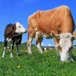 The calf near mother on a summer pasture — Stock Photo #10624947
