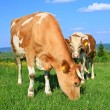 The calf near mother on a summer pasture — Stock Photo #10625001