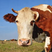 Head of a cow against a pasture — Stock Photo