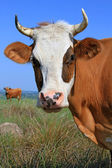 Huvudet av en ko mot en betesmark — Stockfoto