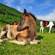 Foto Stock: Foal on mountain summer pasture