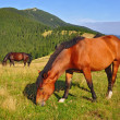 Foto Stock: Horse on summer mountain pasture