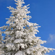 Stock Photo: Fir under snow.