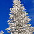 Fir under snow. - Stock Photo