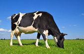夏季牧场上牛. — 图库照片