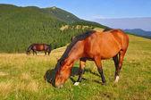 Horse on a summer mountain pasture — Stock Photo