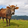 Cow on a summer mountain pasture — Foto Stock