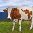 The calf on a summer mountain pasture — Stockfoto