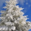 Fir under snow. — Stock Photo