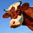 Head of a cow — Stock Photo