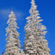 Stock Photo: Firs under snow.