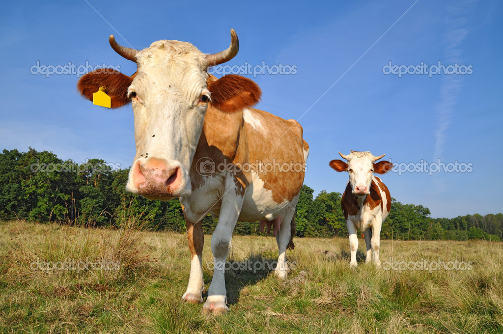 A cows on a summer pasture in a summer rural landscape — Stock Photo #8489681