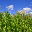 Foto Stock: Green stalks of corn under clouds