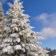 Fir under snow - Stock Photo