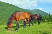Cavalli su un alpeggio estivo — Foto Stock