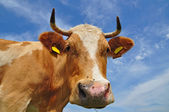 Head of a cow — Foto Stock