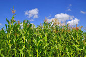 Green stalks of corn under clouds — Stock Photo
