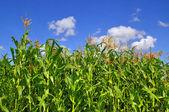 Verdes campos de milho sob nuvens. — Fotografia Stock