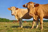 Vaches dans un pâturage d'été. — Photo