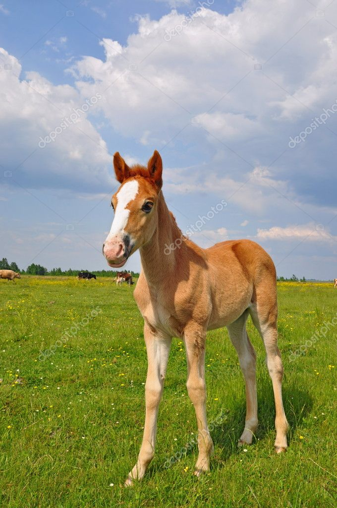 A foal on a summer pasture in a rural landscape  Stock Photo #8545105
