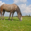 Horse on a summer pasture. — Stock fotografie