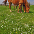 Horses on a summer pasture. - Stock Photo