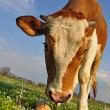 The calf on a summer pasture - Foto Stock