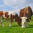 The calf near mother on a summer pasture — Stock Photo