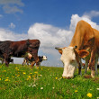 Cows on a summer pasture - Foto Stock