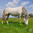 Horse on a summer pasture. - Stock Photo