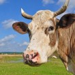 Stock Photo: Head of cow