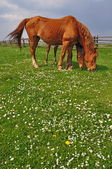 Horses on a summer pasture. — Stock Photo