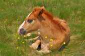 Foal on a summer pasture — Stockfoto