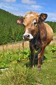 El ternero en un pastizal de montaña de verano — Foto de Stock