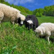 Sheep in rural landscape. — Stock Photo #8825125