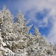 Firs under snow - Foto de Stock  