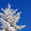 Fir under snow — Stock fotografie