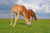 Foal on a summer pasture — Photo