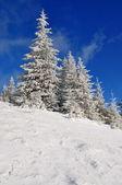 Sparren onder de sneeuw — Stockfoto