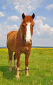 Horse on a summer pasture. — Stock Photo