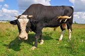 Bull on a summer pasture — Stockfoto