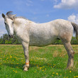 Horse on a summer pasturef - Stock Photo